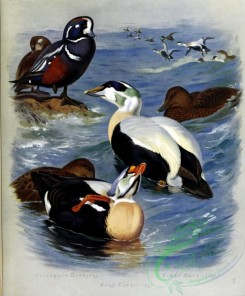 birds_by_thorburn-00007 - Harlequin Duck, King Eider, Eider Duck