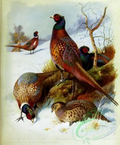birds_by_thorburn-00009 - Mongolian Pheasant, Chinese Ring-necked Pheasant, Pheasant, Japanese Pheasant