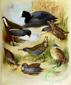 birds_by_thorburn-00010 - Moorhen, Baillon's Crake, Coot, Water Rail, Little Crake, Carolina Crake, Spotted Crake, Land Rail