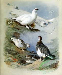 birds_by_thorburn-00012 - Ptarmigan