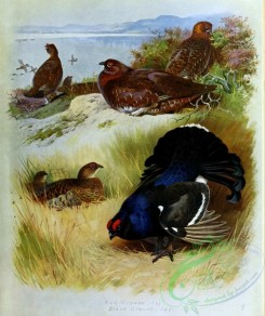 birds_by_thorburn-00013 - Red Grouse, Black Grouse