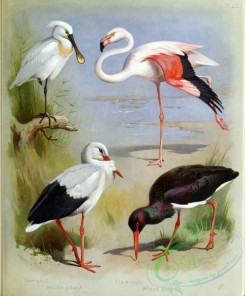 birds_by_thorburn-00015 - Sponbill, White Stork, Flamingo, Black Stork