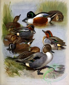 birds_by_thorburn-00017 - Teal, American Blue-winged Teal, Shoveller, Pintail, American Green-winged Teal