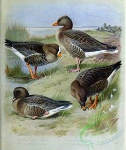 birds_by_thorburn-00019 - White-fronted Goose, Pink-footed Goose, Grey Lag-Goose, Bean Goose