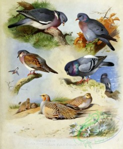 birds_by_thorburn-00020 - Wood Pigeon, Turtle Dove, Pallas's Sandgrouse, Stock Dove, Rock Dove