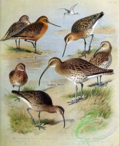 birds_by_thorburn-00021 - Bar-tailed Godwit, Eskimo Curlew, Whimbrel, Black-tailed Godwit, Common Curlew, Slender-billed Curlew