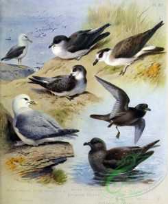 birds_by_thorburn-00022 - Black-browed Albatross, Fulmar, Manx Shearwater, Collared Petrel, Capped Petrel, Bulwer's Petrel, Schlegel's Petrel