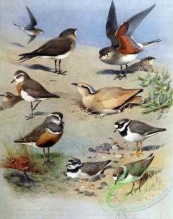 birds_by_thorburn-00023 - Black-winged Pratincole, Caspian Plover, Pratincole, Cream-coloured Courser, Ringed Plover