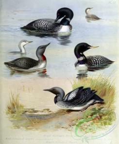 birds_by_thorburn-00026 - Great Northern Diver, Red-throated Diver, Black-throated Diver, White-billed Northern Diver