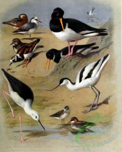 birds_by_thorburn-00028 - Grey Phalarope, Turnstone, Oyster-catcher, Avocet