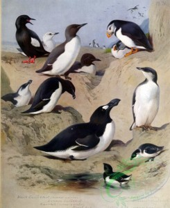 birds_by_thorburn-00029 - Guillemot, Common Guillemot, Razorbill, Great Auk, Little Auk, Puffin, Brunnich's Guillemot