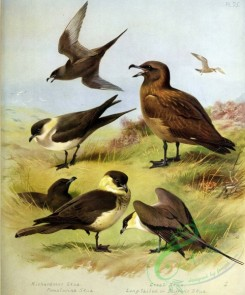 birds_by_thorburn-00034 - Richardson's Skua, Pomatorine Skua, Great Skua, Long-tailed or Buffon's Skua