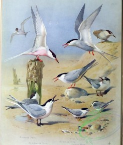 birds_by_thorburn-00035 - Roseate Tern, Sandwich Tern, Arctic Tern, Common Tern, Little Tern