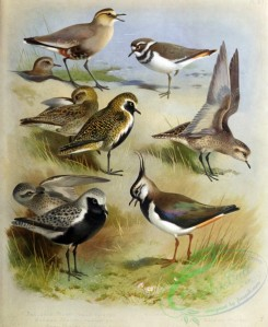 birds_by_thorburn-00038 - Sociable Plover, Golden Plover, Grey Plover, Lapwing, Killdeer Plover, Asiatic Golden Plover