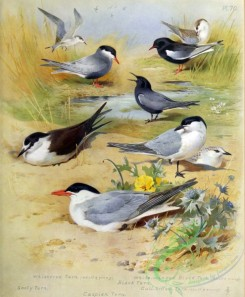 birds_by_thorburn-00040 - Whiskered Tern, Sooty Tern, Caspian Tern, Black Tern, White-winged Black Tern, Gull-billed Tern