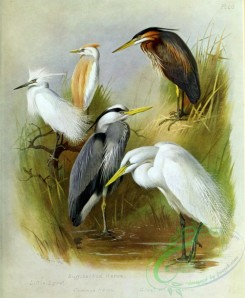 birds_by_thorburn-00042 - Buff-backed Heron, Little Egret, Common Heron, Purple Heron, Great White Heron