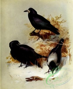 birds_by_thorburn-00043 - Carrion Crow, Rook, Hooded Crow