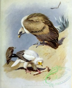 birds_by_thorburn-00049 - Griffon Vulture, Egyptian Vulture