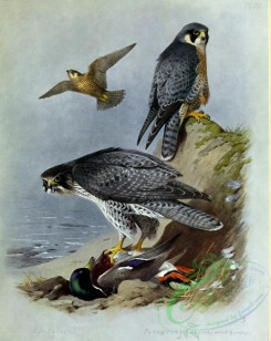 birds_by_thorburn-00050 - Gyrfalcon, Peregrine Falcon