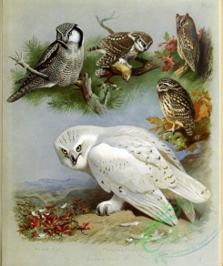birds_by_thorburn-00051 - Hawk Owl, Snowy Owl, Tengmalm's Owl, Dusky Warbler, Little Owl