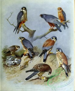 birds_by_thorburn-00052 - Hobby, Merlin, Kestrel, Red-footed Falcon, Lesser Kestrel, Kestrel