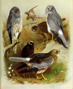 birds_by_thorburn-00054 - Montagu's Harrier, Marsh Harrier, Hen harrier