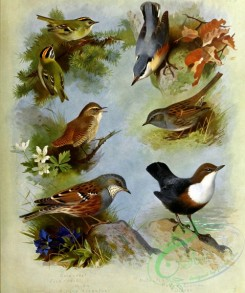 birds_by_thorburn-00062 - Goldcrest, Firecrest, Wren, Alpine Accentor, Nuthatch, Hedge Sparrow, Dipper