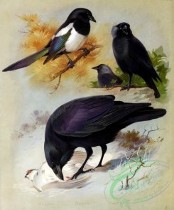 birds_by_thorburn-00064 - Magpie, Raven, Jackdaw
