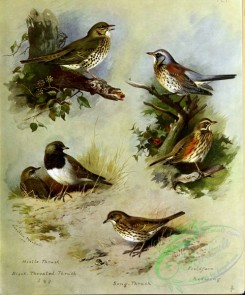 birds_by_thorburn-00067 - Mistle-Thrush, Black-throated Thrush, Song-Thrush, Fieldfare, Redwing