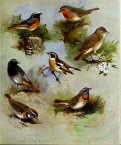 birds_by_thorburn-00071 - Redstart, Black Redstart, Whinchat, White-spotted Bluethroat, Redbreast, Nightingale, Arctic Bluethroat
