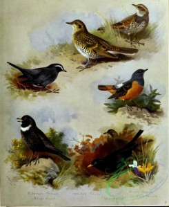birds_by_thorburn-00075 - Siberian Thrush, Ring-Ouzel, White's Thrush, Blackbird, Dusky Thrush, Rock Thrush