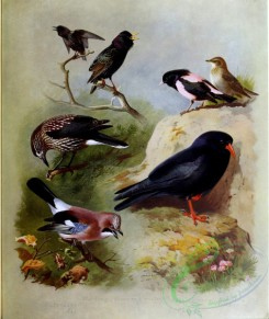 birds_by_thorburn-00076 - Starling, Nutcracker, Jay, Rose-coloured Starling, Chough