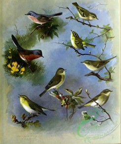 birds_by_thorburn-00077 - Subalpine Warbler, Dartford Warbler, Wood-Wren, Willow-Wren, Yellow-browed Warbler, Pallas's Willow Warbler, Greenish Willow Warbler, Chiffchaff