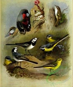 birds_by_thorburn-00078 - Wallcreeper, Pied Wagtail, White Wagtail, Grey-headed yellow Wagtail, Tree Creeper, Blue-headed Wagtail, Grey Wagtail, Yellow Wagtail