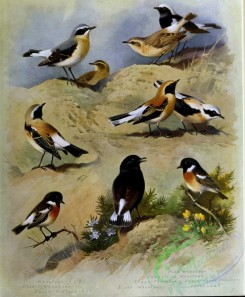 birds_by_thorburn-00079 - Wheatear, Desert Wheatear, Eastern Stonechat, Pied Wheatear, Isabelline Wheatear, Black-throated Wheatear, Black-eared Wheatear, Black Wheatear, Stonechat