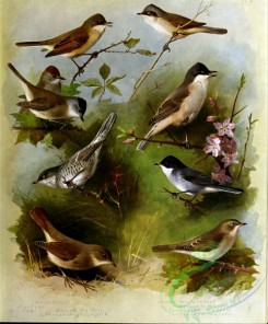 birds_by_thorburn-00080 - Whitethroat, Blackcap, Barred Warbler, Thrush-Nightingale, Lesser Whitethroat, Orphean Warbler, Sardinian Warbler, Garden Warbler
