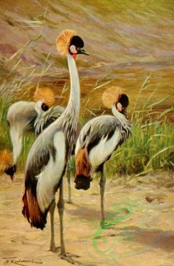 birds_full_color-00001 - Crowned Crane