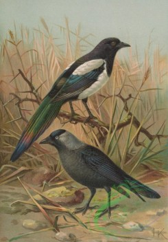 birds_full_color-00007 - Common Magpie, Western Jackdaw