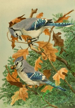 birds_full_color-00012 - BLUE JAY
