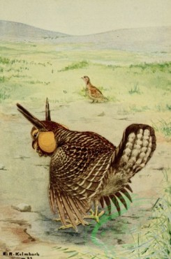 birds_full_color-00019 - PRAIRIE CHICKENS