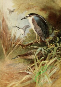 birds_full_color-00026 - NIGHT HERON