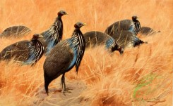 birds_full_color-00033 - Black-Collared Crested Guinea- Fowl