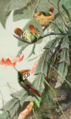 birds_full_color-00035 - Frilled coquette