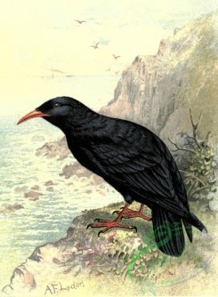 birds_full_color-00051 - CHOUGH