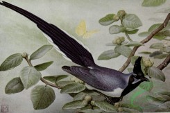 birds_full_color-00054 - COLLIE'S MAGPIE-JAY