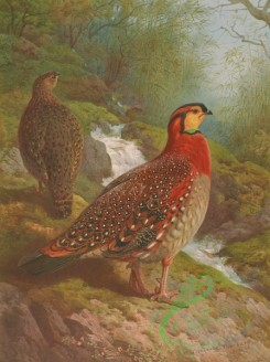 birds_full_color-00205 - BLYTH'S TRAGOPAN
