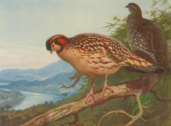 birds_full_color-00206 - CABOT'S TRAGOPAN