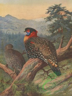 birds_full_color-00209 - WESTERN TRAGOPAN