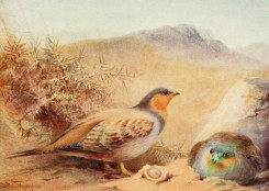 birds_full_color-00224 - SANDGROUSE