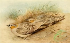birds_full_color-00227 - Coronetted Sandgrouse, pterocles atratus